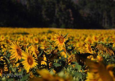 Sonnenblumen in Spanien